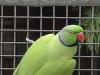 Green Opaline Male